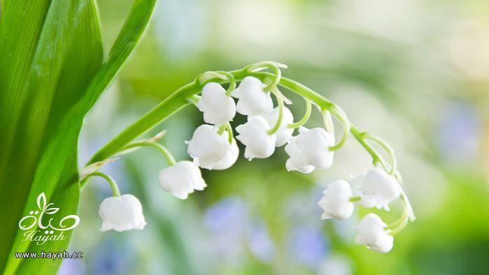 زهور جمیله hayahcc_1365952681_507.jpg