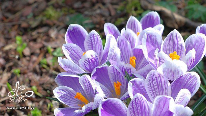 زهور جمیله hayahcc_1365952681_619.jpg