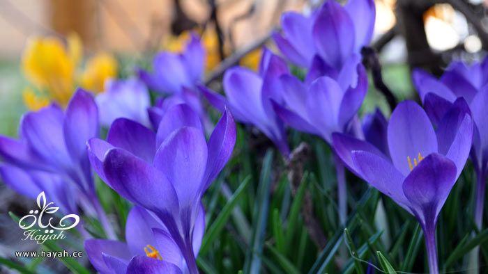 زهور جمیله hayahcc_1365952681_924.jpg