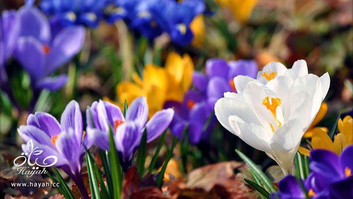 زهور جمیله hayahcc_1365952682_123.jpg