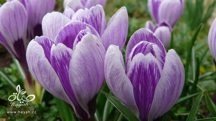 زهور جمیله hayahcc_1365952682_324.jpg