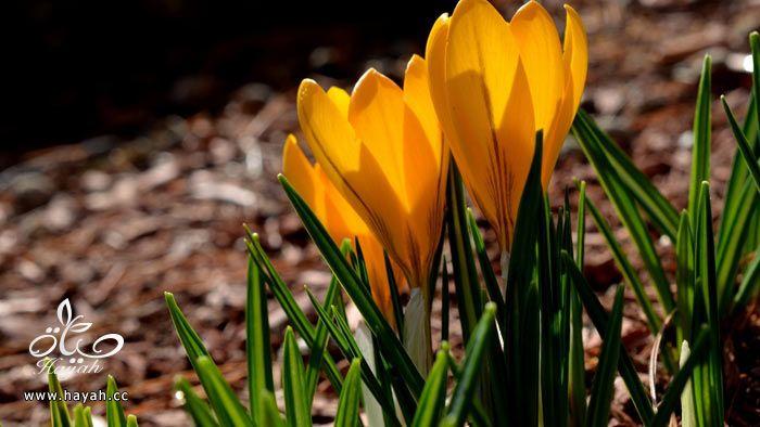 زهور جمیله hayahcc_1365952682_410.jpg