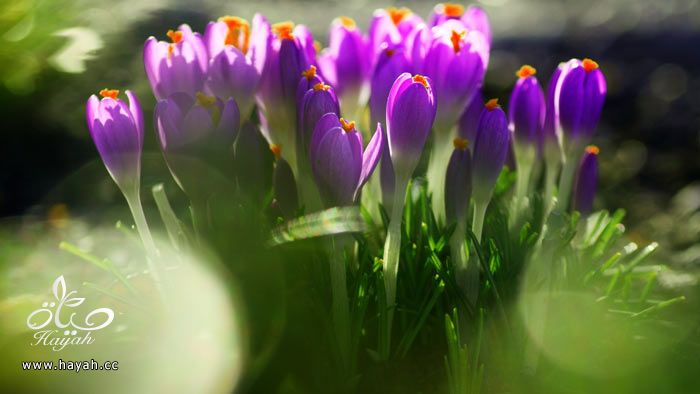 زهور جمیله hayahcc_1365952682_516.jpg