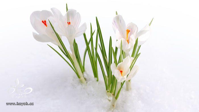 زهور جمیله hayahcc_1365952682_941.jpg