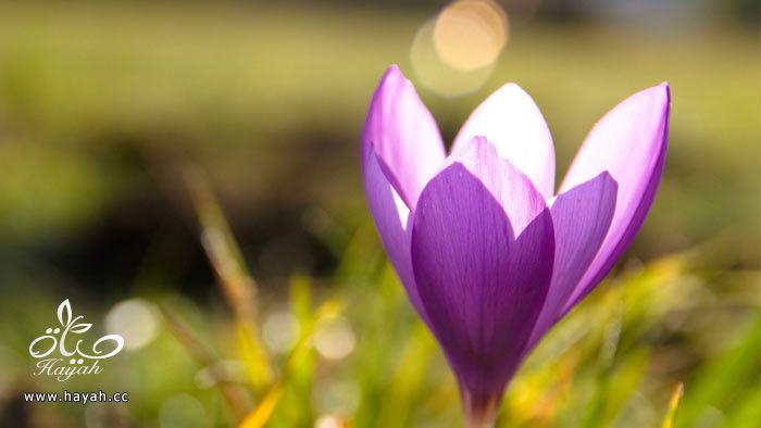 زهور جمیله hayahcc_1365952683_402.jpg