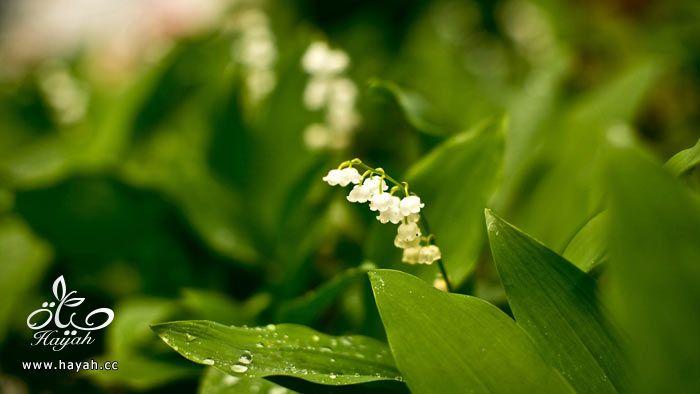 زهور جمیله hayahcc_1365952683_530.jpg