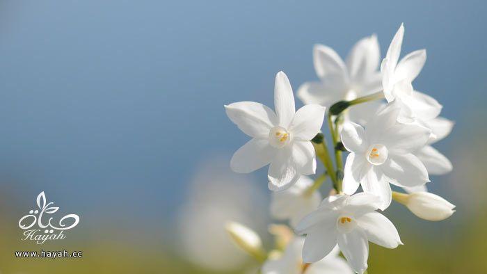 زهور جمیله hayahcc_1365952683_599.jpg