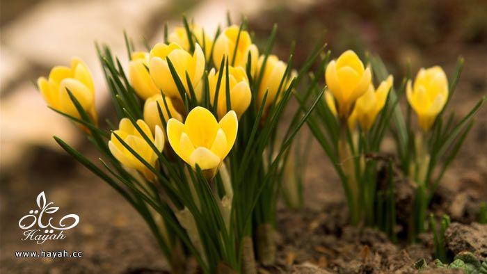 زهور جمیله hayahcc_1365952683_622.jpg