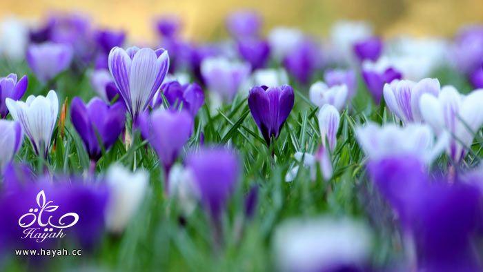 زهور جمیله hayahcc_1365952683_775.jpg