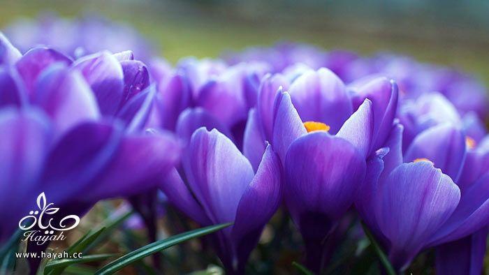 زهور جمیله hayahcc_1365952683_878.jpg