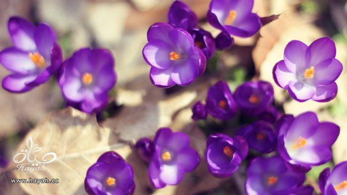 زهور جمیله hayahcc_1365952684_150.jpg