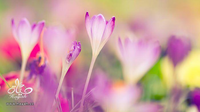 زهور جمیله hayahcc_1365952684_468.jpg