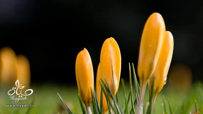 زهور جمیله hayahcc_1365952684_988.jpg
