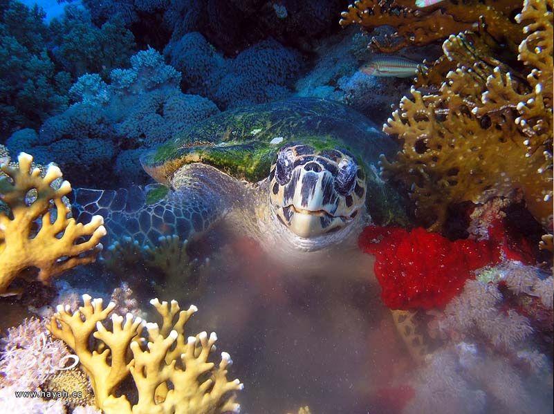 صور جمیله من عالم البحار hayahcc_1366730962_775.jpg