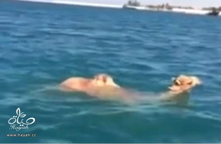 بالفيديو الجمل من سفينة الصحراء إلى سفينة الماء hayahcc_1423294793_410.jpg