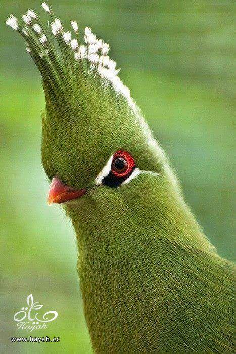 أجمل ألوان الطيور hayahcc_1424853971_247.jpg