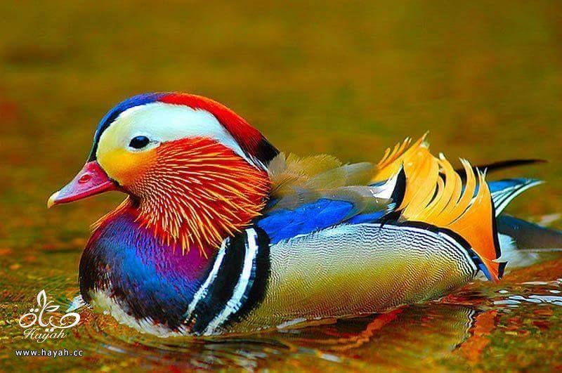 أجمل ألوان الطيور hayahcc_1424853971_969.jpg