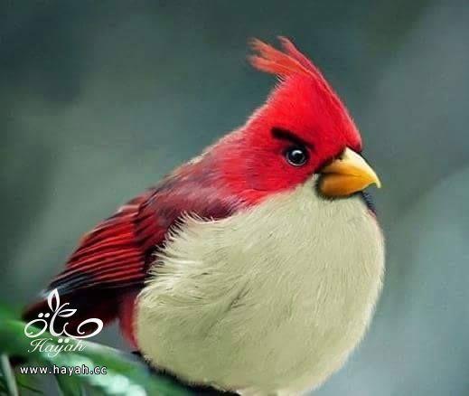 أجمل ألوان الطيور hayahcc_1424853972_147.jpg