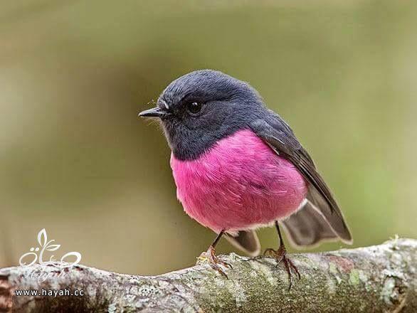 أجمل ألوان الطيور hayahcc_1424853972_873.jpg