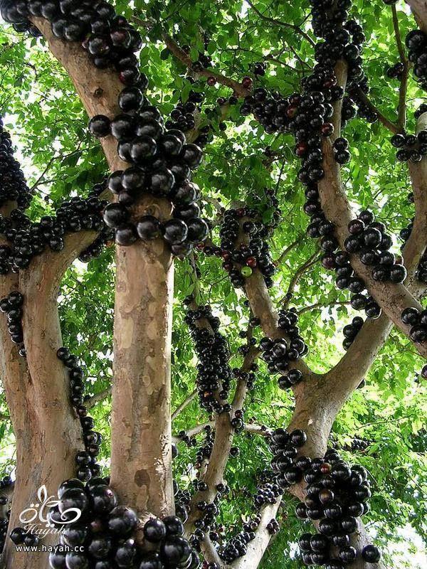 شجرة عنب غريبة hayahcc_1437639767_125.jpg