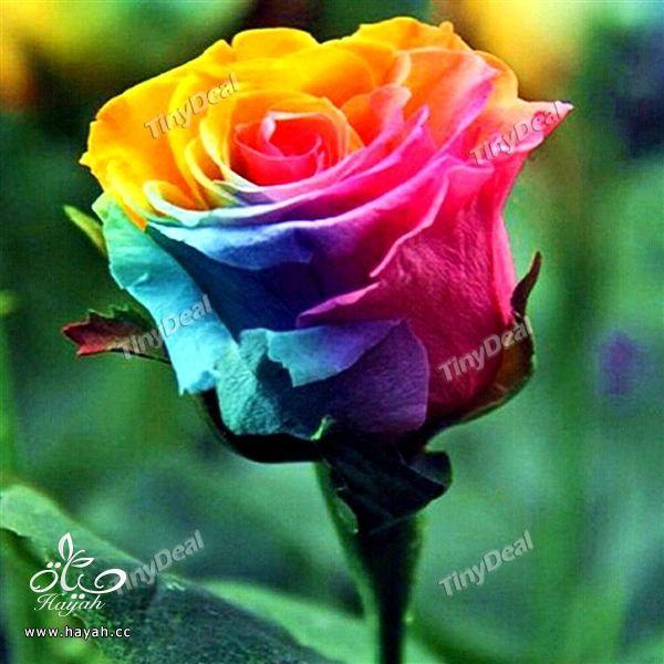 الورد بسبعة الوان hayahcc_1441620146_280.jpg