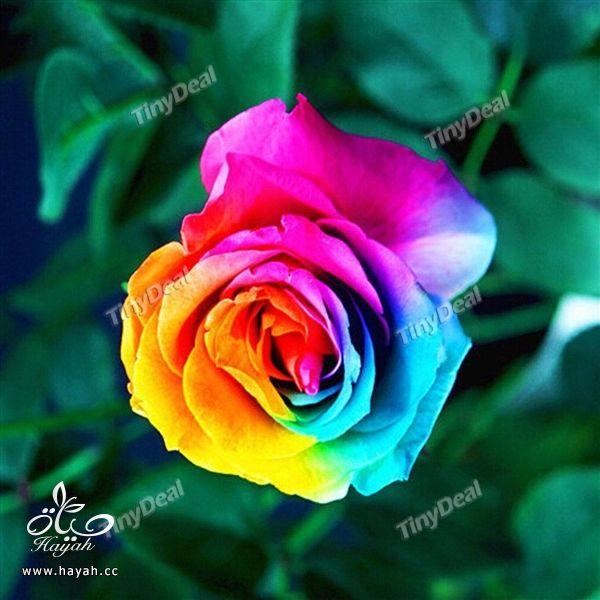 الورد بسبعة الوان hayahcc_1441620147_391.jpg