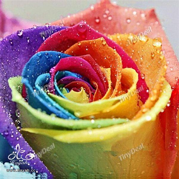 الورد بسبعة الوان hayahcc_1441620148_202.jpg