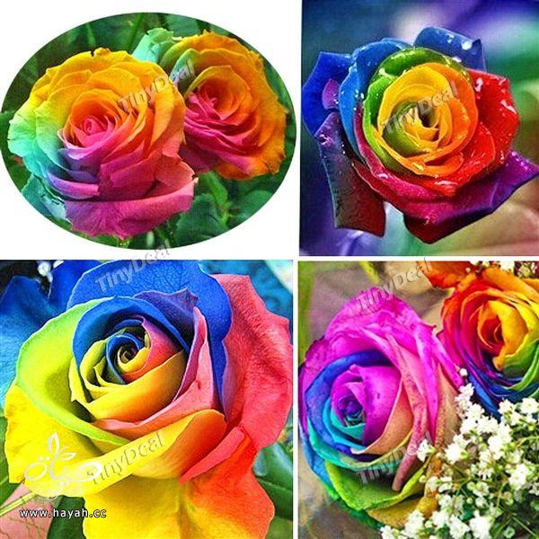 الورد بسبعة الوان hayahcc_1441620149_229.jpg