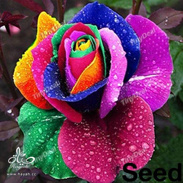 الورد بسبعة الوان hayahcc_1441620150_168.jpg