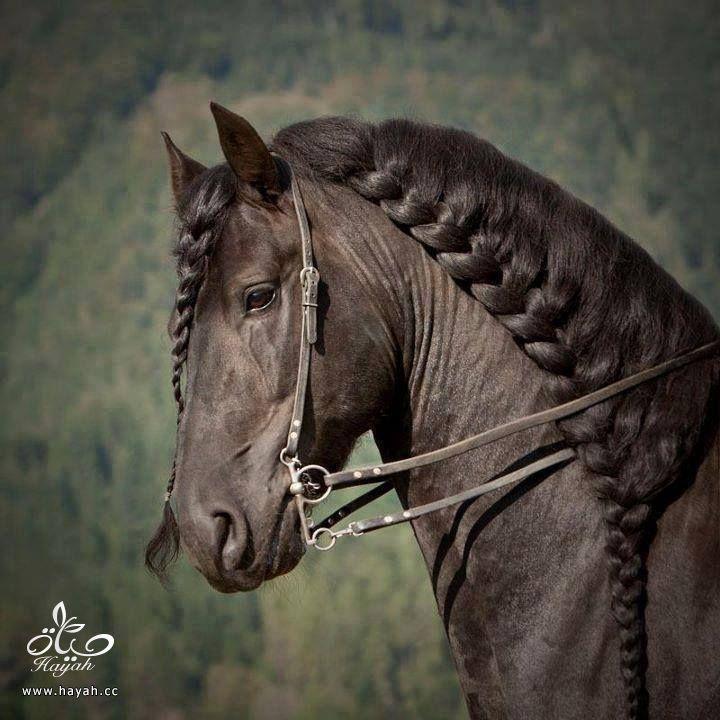 جدائل لأحصنة روعة hayahcc_1442531047_516.jpg
