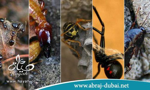 شركة ابراج دبي تقدم شركة مكافحة حشرات بالخبر علي اعلي مستوي . hayahcc_1501412363_490.jpg